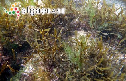 Sargassum muticum (Yendo) Fensholt