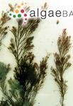 Polysiphonia nigrescens var. fucoides (Hudson) Harvey