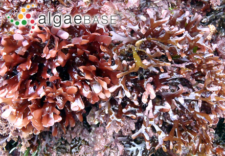 Mesophyllum pulchrum (Weber Bosse & Foslie) Me.Lemoine