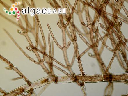Sphaerococcus canaliculatus Kützing