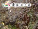 Lyngbya fuscopurpurea (Dillwyn) Hassall