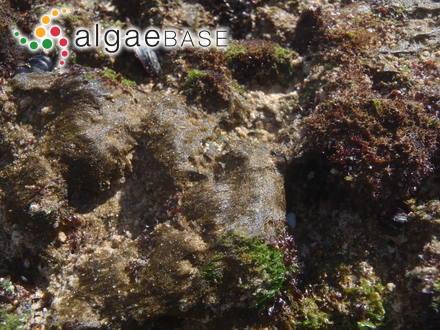 Corallopsis salicornia var. minor Sonder
