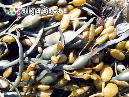 Corallopsis minor (Sonder) J.Agardh