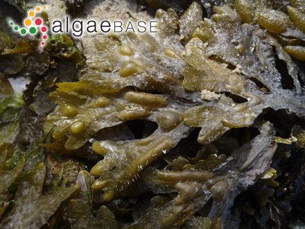 Pseudodictyon reticulatum Ercegovic