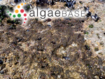 Hincksia granulosa (Smith) P.C.Silva