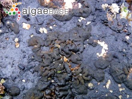 Tenarea tortuosa f. undulosa Bory