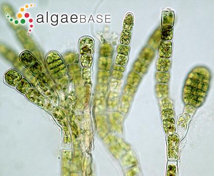 Gracilaria fisheri (B.M.Xia & I.A.Abbott) I.A.Abbott, J.Zhang & B.M.Xia