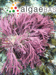 Cheilosporum cultratum (Harvey) Areschoug