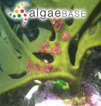 Placophora binderi (J.Agardh) J.Agardh