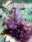 Fucus corallorhiza Turner