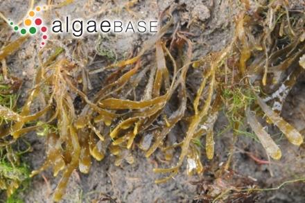 Nitophyllum maculatum Sonder ex Grunow