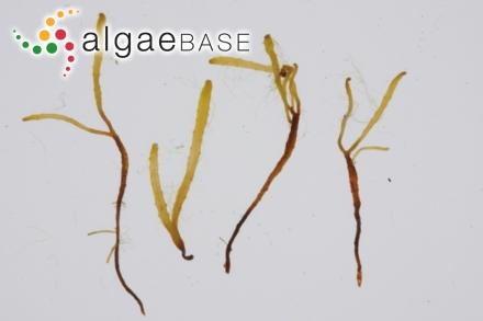 Delesseria platycarpa (Turner) J.V.Lamouroux