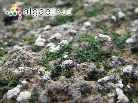 Wrangelia elegantissima R.E.Norris