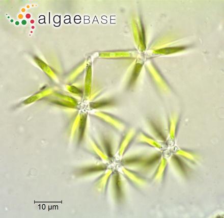 Staurodesmus arcuatus (Joshua) Teiling