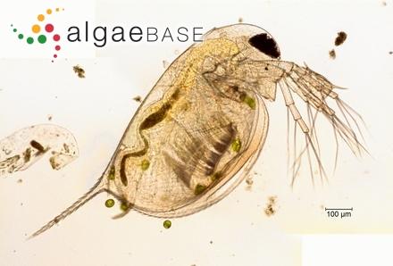 Staurodesmus arcuatus var. octospinatus (A.M.Scott & Prescott) Teiling
