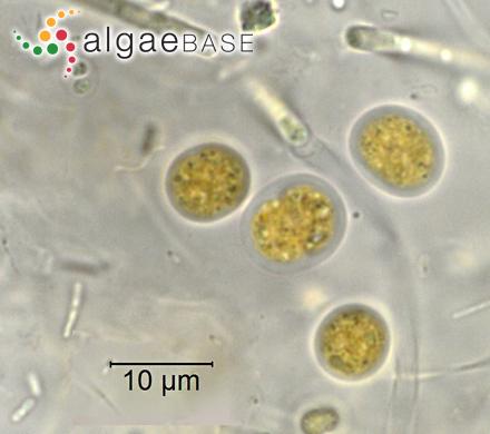 Lithophyllum cristatum Meneghini