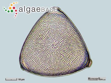 Ectocarpus spongiosus Dickie