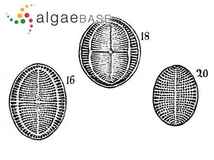 Gelidium attenuatum var. confertum (Turner) Batters