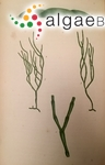 Cladophora brownii (Dillwyn) Harvey