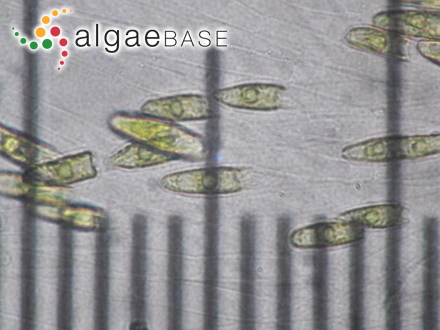 Aulacoseira alpigena (Grunow) Krammer