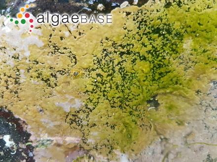 Aulacoseira crenulata (Ehrenberg) Thwaites