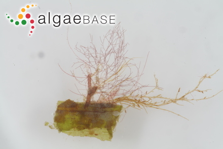 Synedra amphicephala var. fallax Grunow