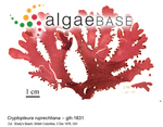 Botryoglossum ruprechtianum (J.Agardh) De Toni
