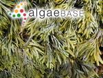 Pelvetia fastigiata f. limitata Setchell