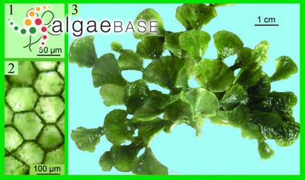Gloiocladia wilsonis (J.Agardh) R.E.Norris