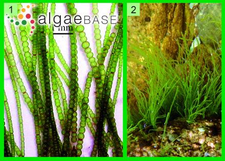 Chara fragilis f. verrucosa (Itzigsohn) W.Migula