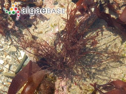 Staurastrum subgracillimum var. curvatum Behre