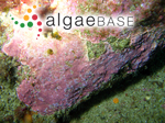Vaucheria marina Lyngbye