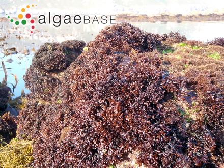Coelosphaerium kuetzingianum Nägeli