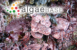 Mesophyllum lichenoides (J.Ellis) Me.Lemoine