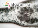 Kallymenia crouaniorum Vergés & Le Gall