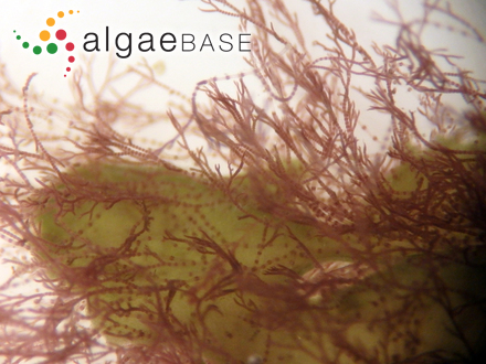Anabaenopsis arnoldii Aptekar