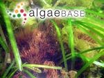 Gracilaria dura (C.Agardh) J.Agardh