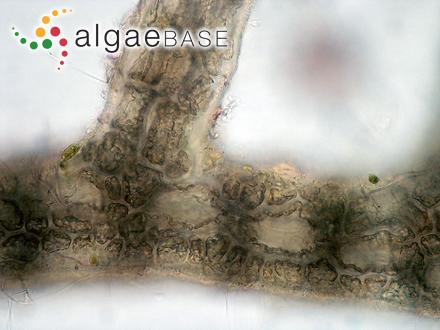 Jaaginema geminatum (Schwabe ex Gomont) Anagnostidis & Komárek