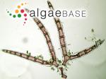 Aglaothamnion sepositum (Gunnerus) Maggs & Hommersand