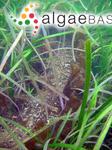Saccharina latissima (Linnaeus) C.E.Lane, C.Mayes, Druehl & G.W.Saunders