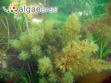 Calothrix wrangelii C.Agardh