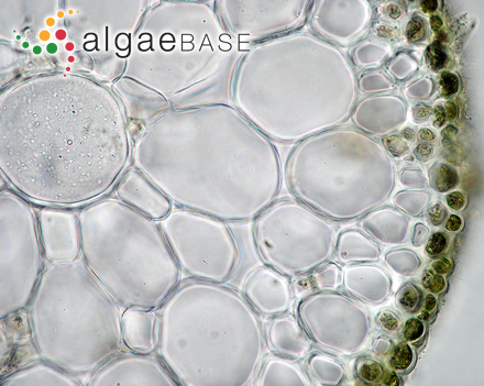 Rivularia borealis P.G.Richter