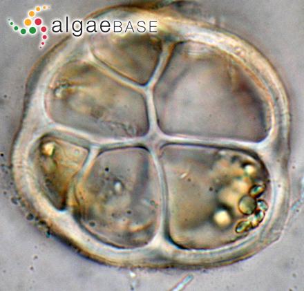 Rivularia calcarea Smith
