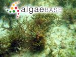 Treptacantha baccata (S.G.Gmelin) Orellana & Sansón