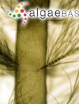 Arthrocladia villosa (Hudson) Duby
