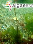 Chordaria filum (Linnaeus) C.Agardh