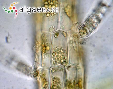 Peridinium caudatum var. morsum (Playfair) Playfair
