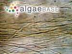 Pseudanabaena persicina (Reinke ex Gomont) Anagnostidis