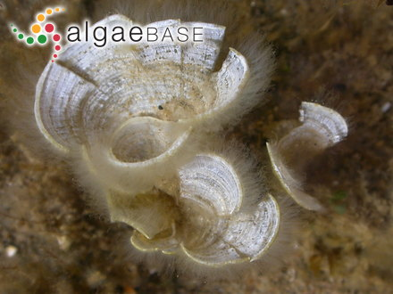 Microcladia moseleyi Dickie