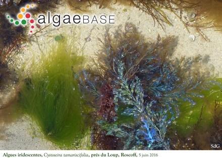 Schizoseris multifoliata Baardseth
